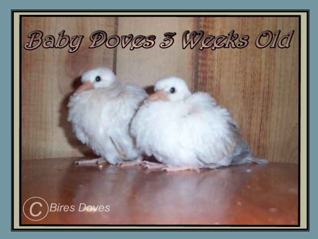 Doves For Sale >> Lori And Daves Dove Site
